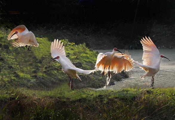 8月18日江湾湿地适马打鸟利器156S版C版 E口 60-600 S版免费体验活动