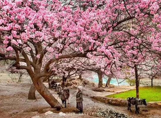 三月,去新疆看最美的杏花!——走近高原杏花部落